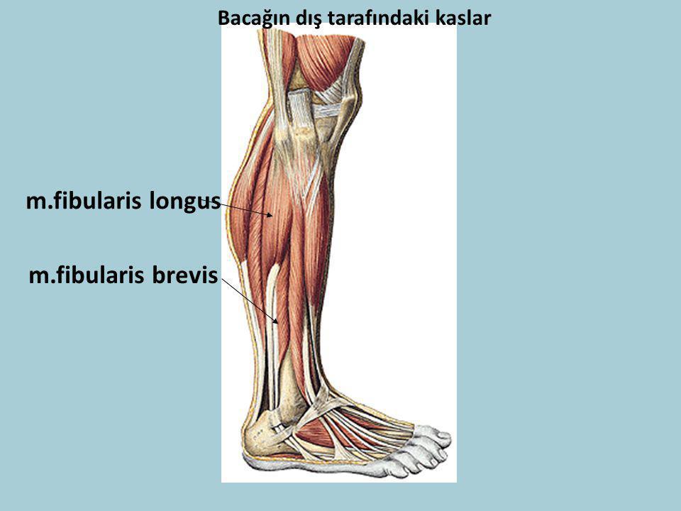m.fibularis longus m.fibularis brevis Bacağın dış tarafındaki kaslar