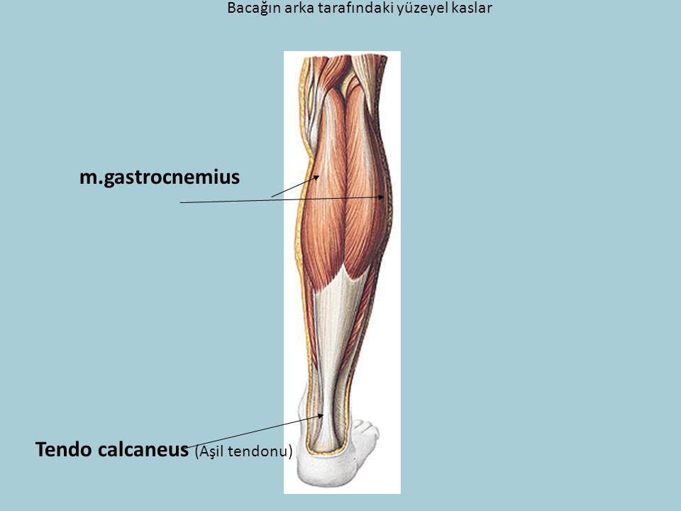 Bacağın arka tarafındaki yüzeyel kaslar m.gastrocnemius Tendo calcaneus (Aşil tendonu)