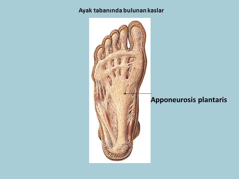 Ayak tabanında bulunan kaslar Apponeurosis plantaris