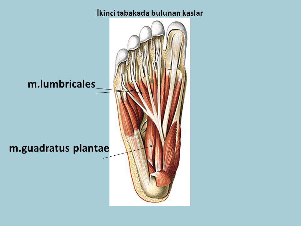 İkinci tabakada bulunan kaslar m.guadratus plantae m.lumbricales