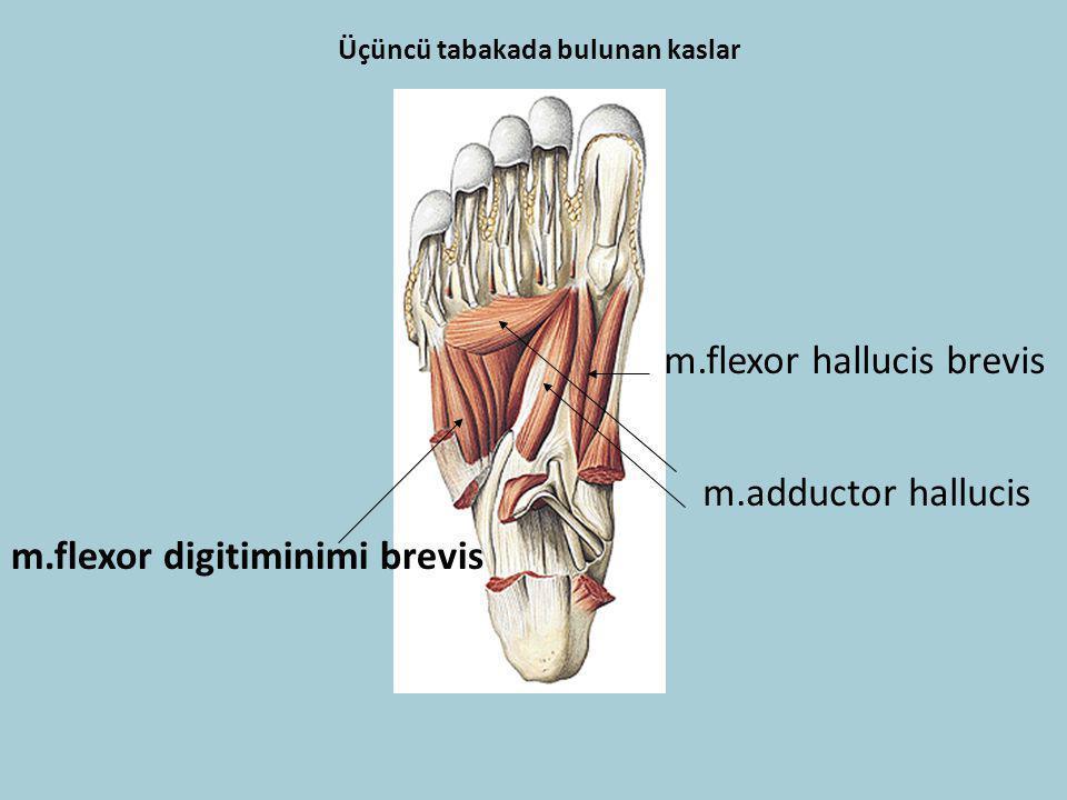Üçüncü tabakada bulunan kaslar m.flexor hallucis brevis m.adductor hallucis m.flexor digitiminimi brevis