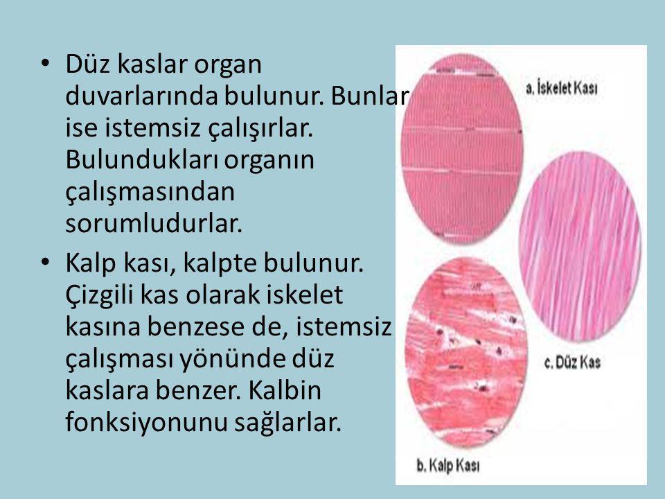 Düz kaslar organ duvarlarında bulunur. Bunlar ise istemsiz çalışırlar. Bulundukları organın çalışmasından sorumludurlar. Kalp kası, kalpte bulunur. Çi