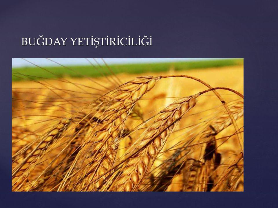 EKİM: Buğday ekimi bölgemizde genellikle 15 Kasım-15 Aralık tarihleri arasında yapılmalıdır.