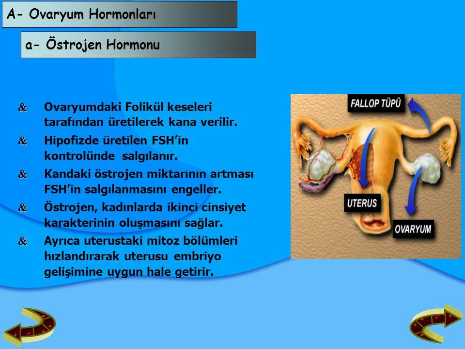 A- Ovaryum Hormonları a- Östrojen Hormonu   Ovaryumdaki Folikül keseleri tarafından üretilerek kana verilir.   Hipofizde üretilen FSH'in kontrolün