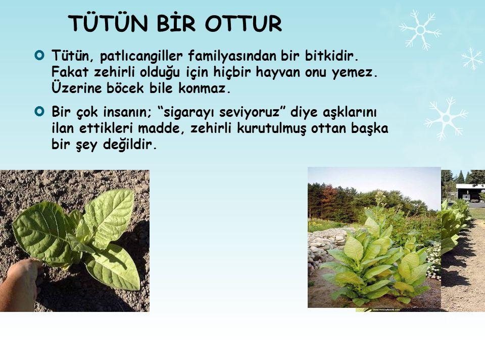 TÜTÜN BİR OTTUR  Tütün, patlıcangiller familyasından bir bitkidir.