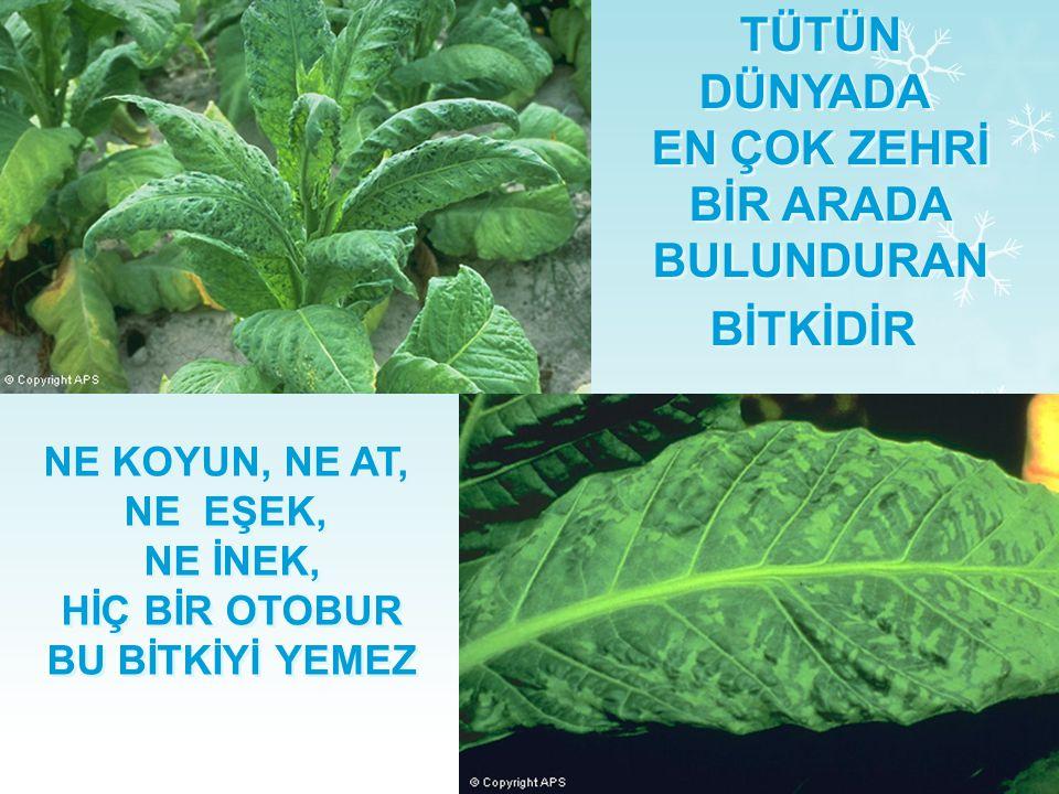 TÜTÜN BİR OTTUR  Tütün, patlıcangiller familyasından bir bitkidir. Fakat zehirli olduğu için hiçbir hayvan onu yemez. Üzerine böcek bile konmaz.  Bi