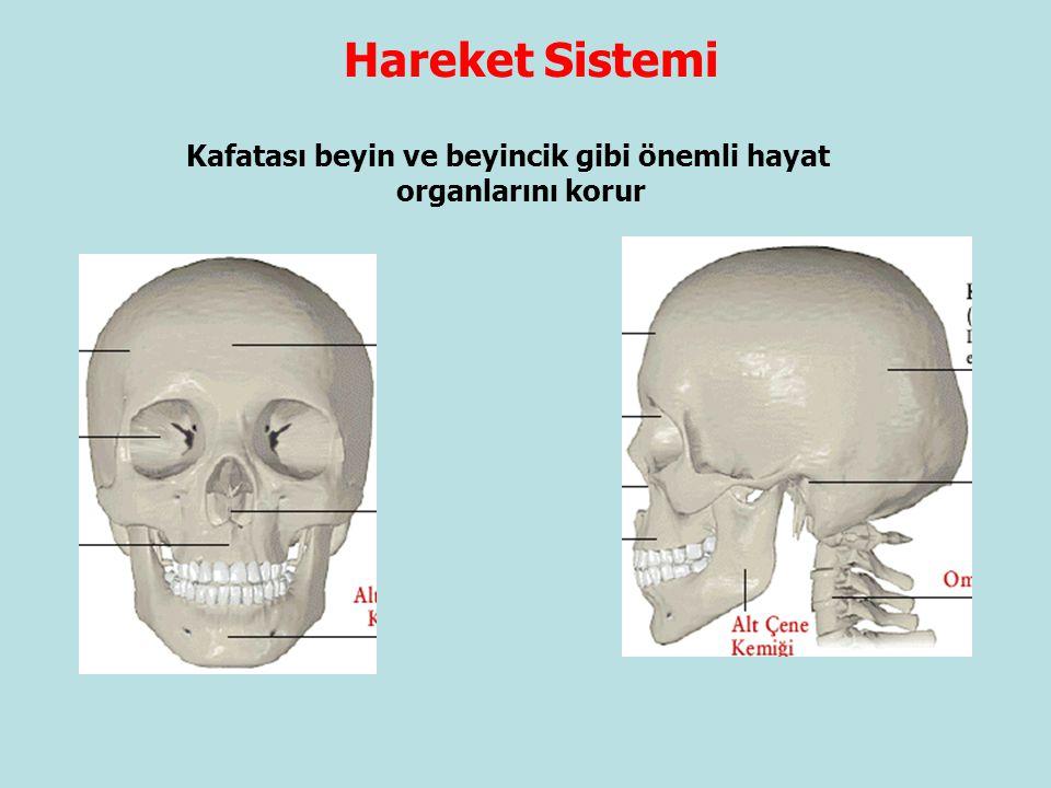 Hareket Sistemi Kafatası beyin ve beyincik gibi önemli hayat organlarını korur