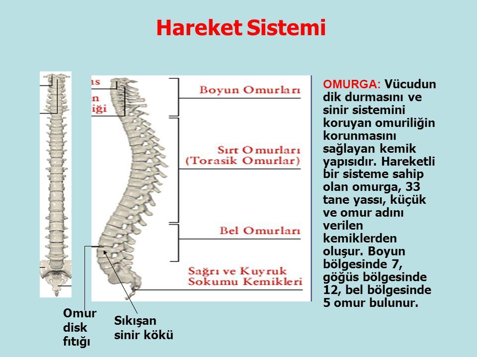 Hareket Sistemi OMURGA: Vücudun dik durmasını ve sinir sistemini koruyan omuriliğin korunmasını sağlayan kemik yapısıdır. Hareketli bir sisteme sahip