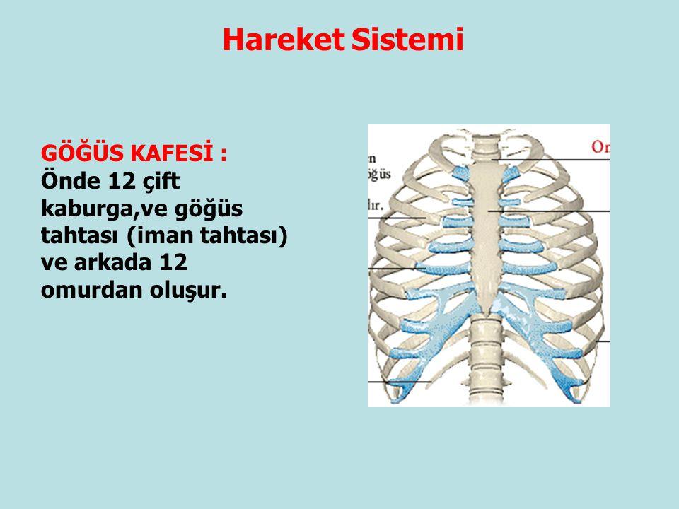 Hareket Sistemi GÖĞÜS KAFESİ : Önde 12 çift kaburga,ve göğüs tahtası (iman tahtası) ve arkada 12 omurdan oluşur.