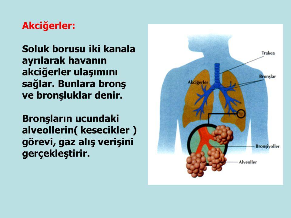 Akciğerler: Soluk borusu iki kanala ayrılarak havanın akciğerler ulaşımını sağlar. Bunlara bronş ve bronşluklar denir. Bronşların ucundaki alveollerin