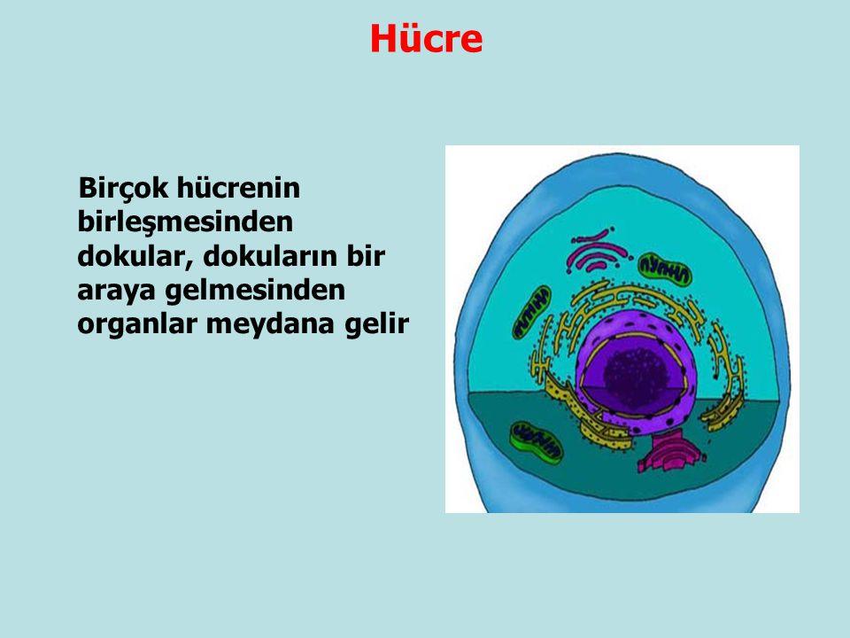 Birçok hücrenin birleşmesinden dokular, dokuların bir araya gelmesinden organlar meydana gelir Hücre