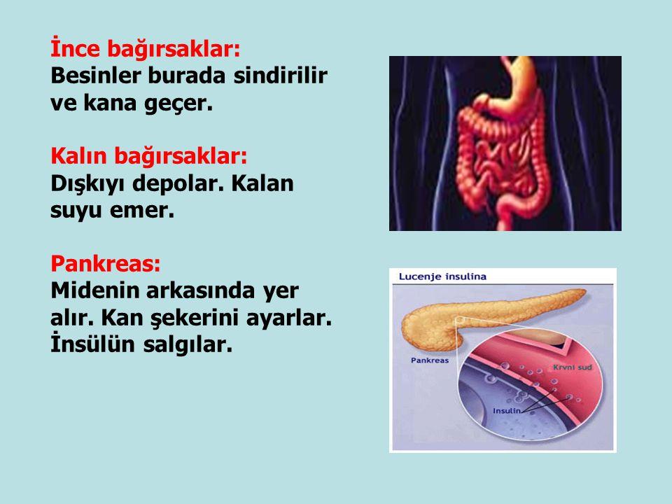 İnce bağırsaklar: Besinler burada sindirilir ve kana geçer. Kalın bağırsaklar: Dışkıyı depolar. Kalan suyu emer. Pankreas: Midenin arkasında yer alır.