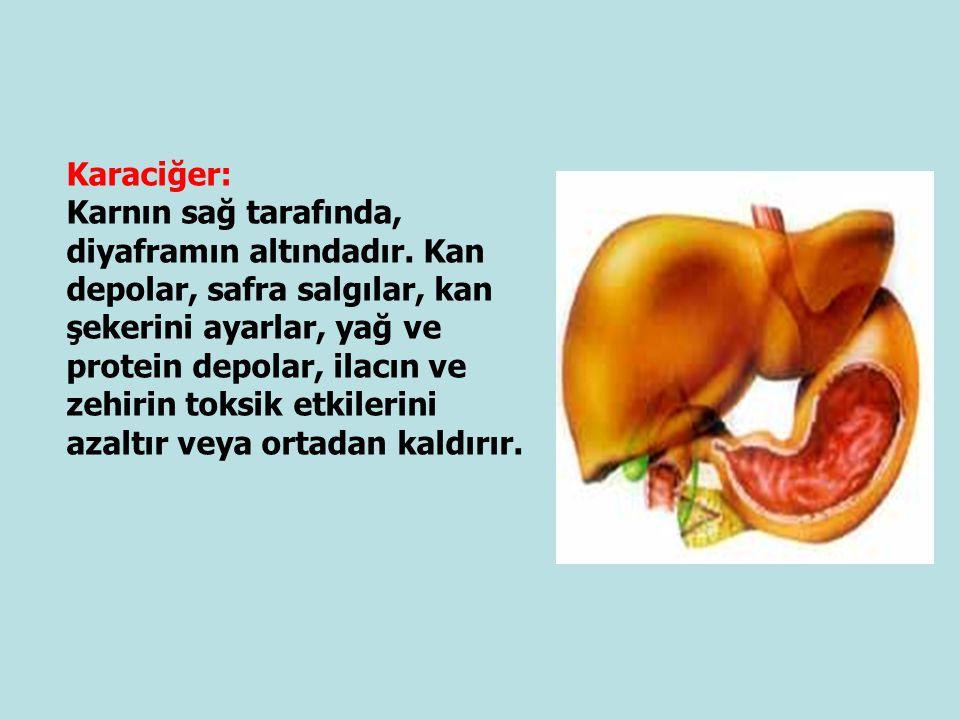 Karaciğer: Karnın sağ tarafında, diyaframın altındadır. Kan depolar, safra salgılar, kan şekerini ayarlar, yağ ve protein depolar, ilacın ve zehirin t