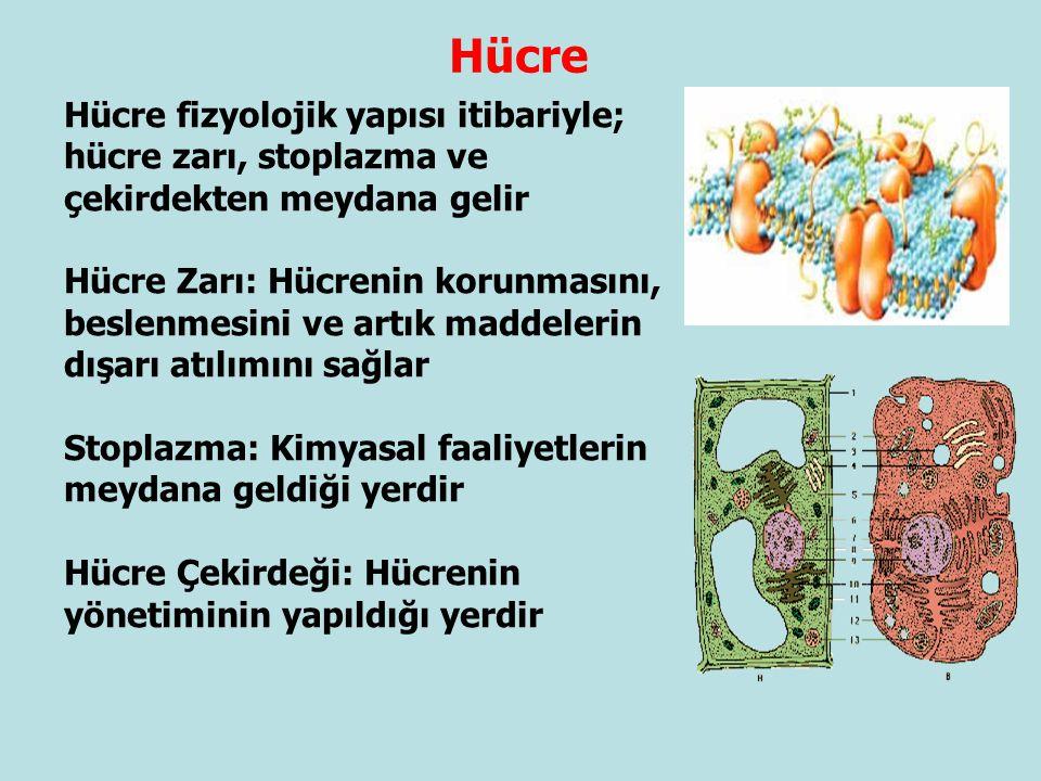 Hücre fizyolojik yapısı itibariyle; hücre zarı, stoplazma ve çekirdekten meydana gelir Hücre Zarı: Hücrenin korunmasını, beslenmesini ve artık maddele