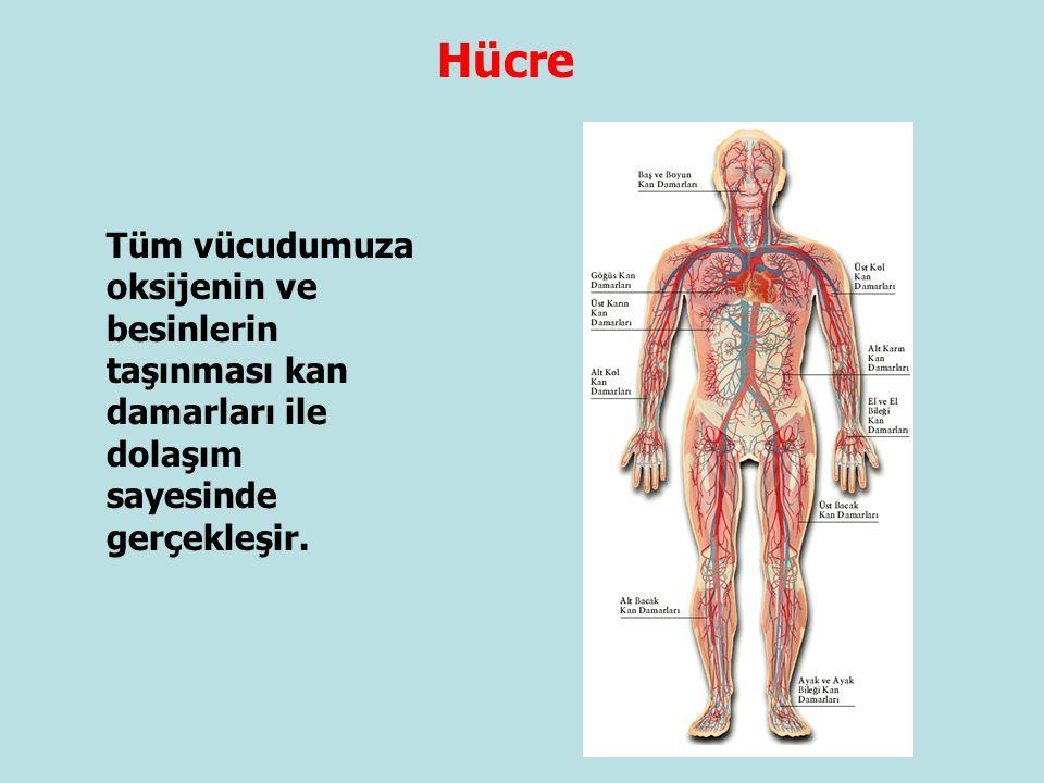 Tüm vücudumuza oksijenin ve besinlerin taşınması kan damarları ile dolaşım sayesinde gerçekleşir. Hücre