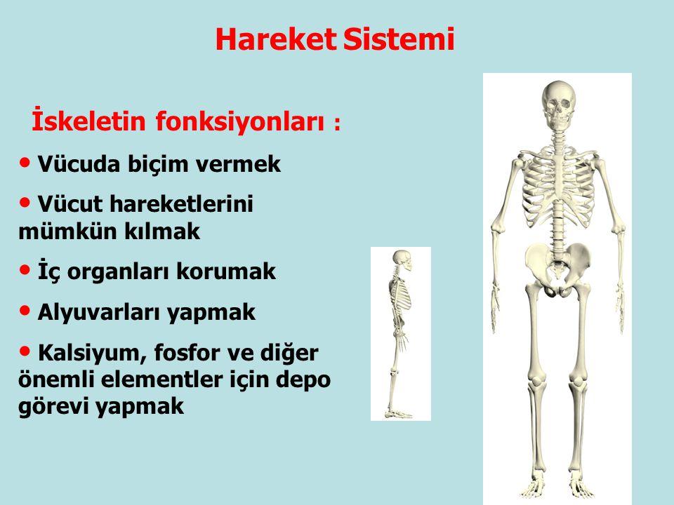 Hareket Sistemi İskeletin fonksiyonları : Vücuda biçim vermek Vücut hareketlerini mümkün kılmak İç organları korumak Alyuvarları yapmak Kalsiyum, fosf