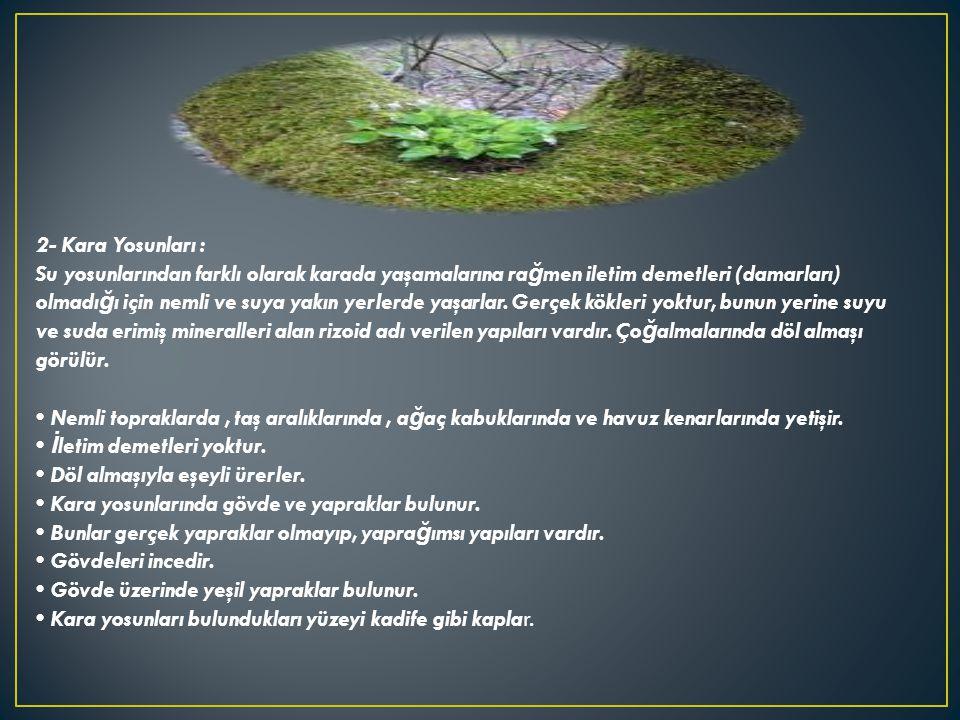 2- Kara Yosunları : Su yosunlarından farklı olarak karada yaşamalarına ra ğ men iletim demetleri (damarları) olmadı ğ ı için nemli ve suya yakın yerle