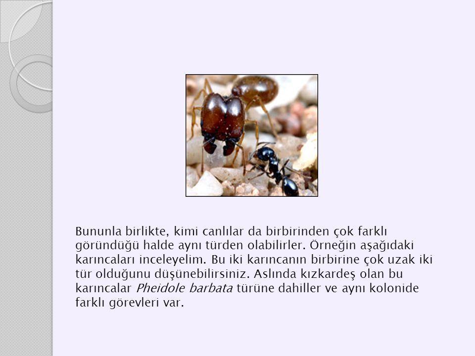 Bununla birlikte, kimi canlılar da birbirinden çok farklı göründüğü halde aynı türden olabilirler. Örneğin aşağıdaki karıncaları inceleyelim. Bu iki k