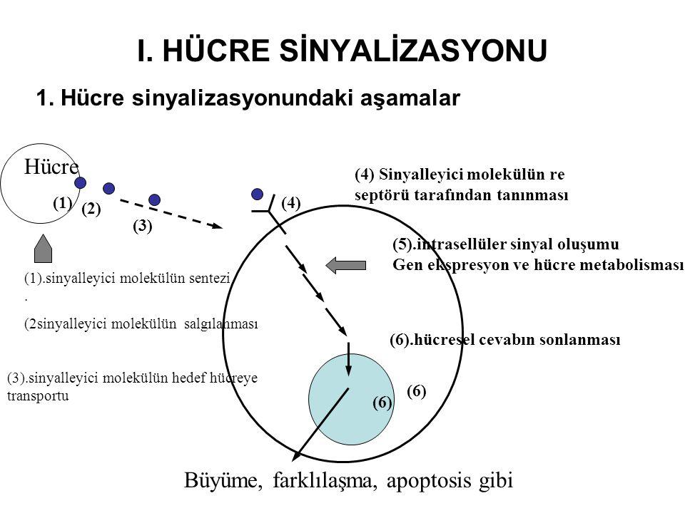 I. HÜCRE SİNYALİZASYONU 1. Hücre sinyalizasyonundaki aşamalar (1).sinyalleyici molekülün sentezi. (2sinyalleyici molekülün salgılanması (3).sinyalleyi