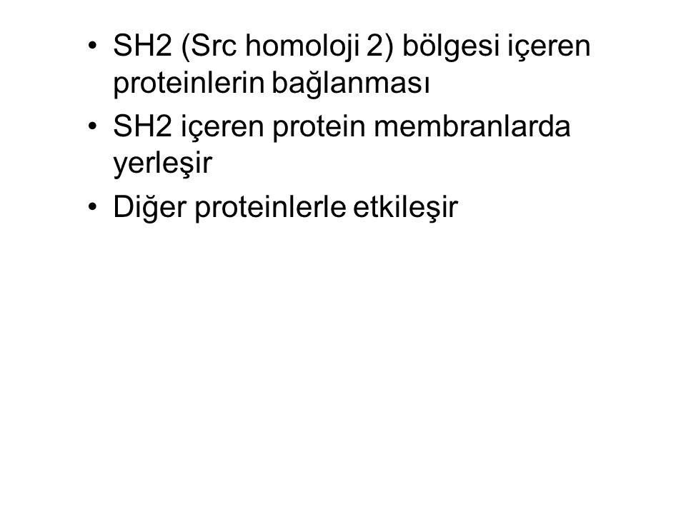 SH2 (Src homoloji 2) bölgesi içeren proteinlerin bağlanması SH2 içeren protein membranlarda yerleşir Diğer proteinlerle etkileşir