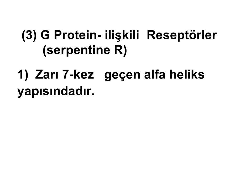 1) Zarı 7-kez geçen alfa heliks yapısındadır. (3) G Protein- ilişkili Reseptörler (serpentine R)