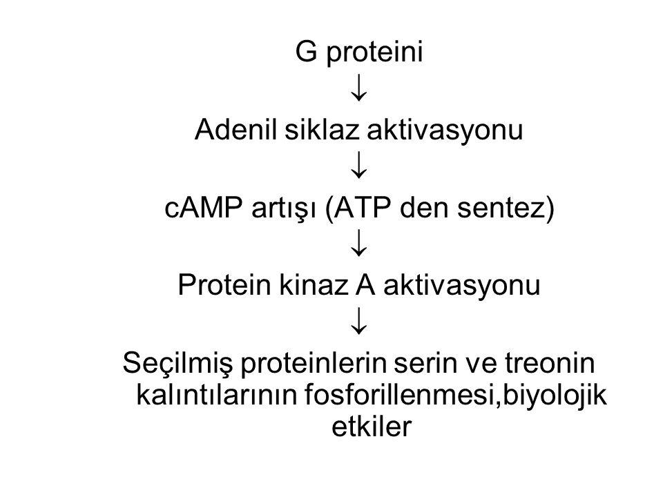 G proteini  Adenil siklaz aktivasyonu  cAMP artışı (ATP den sentez)  Protein kinaz A aktivasyonu  Seçilmiş proteinlerin serin ve treonin kalıntıla