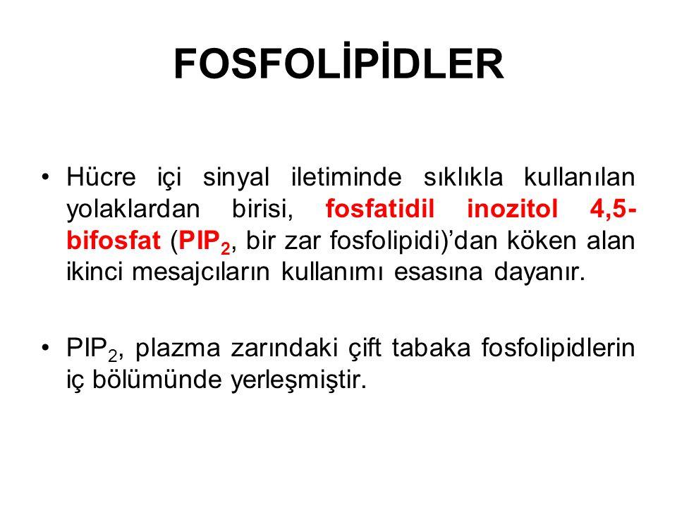 FOSFOLİPİDLER Hücre içi sinyal iletiminde sıklıkla kullanılan yolaklardan birisi, fosfatidil inozitol 4,5- bifosfat (PIP 2, bir zar fosfolipidi)'dan k