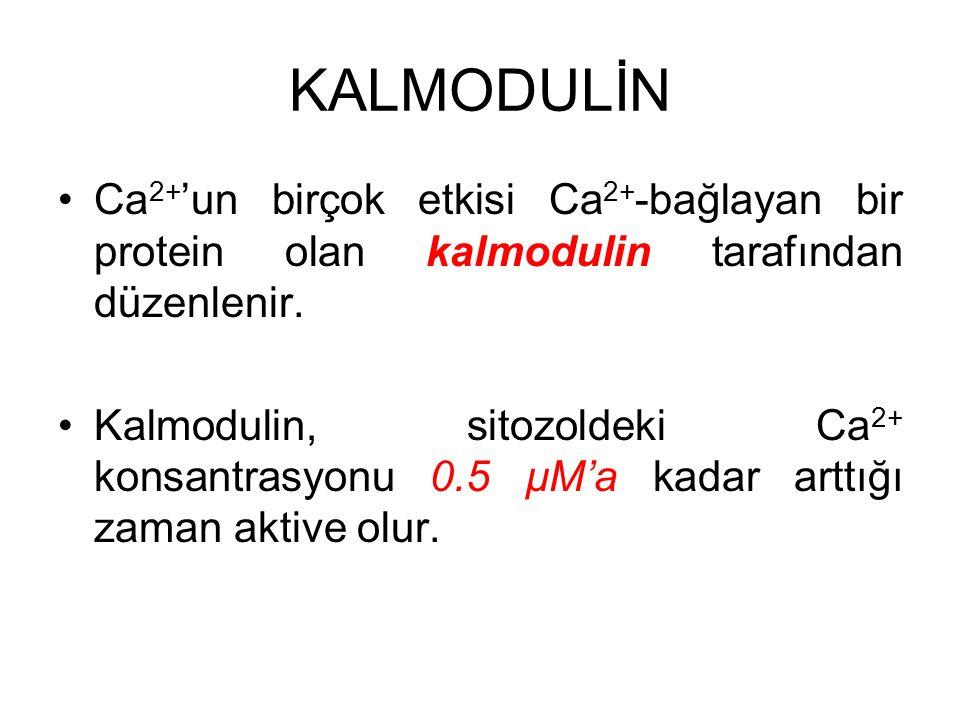 KALMODULİN Ca 2+ 'un birçok etkisi Ca 2+ -bağlayan bir protein olan kalmodulin tarafından düzenlenir. Kalmodulin, sitozoldeki Ca 2+ konsantrasyonu 0.5