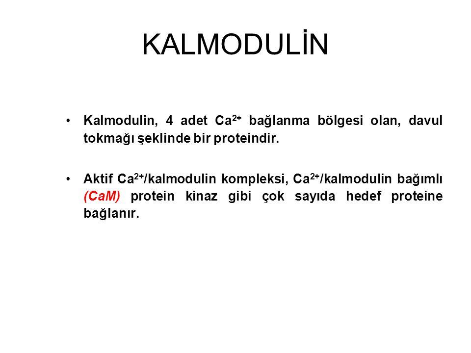 KALMODULİN Kalmodulin, 4 adet Ca 2+ bağlanma bölgesi olan, davul tokmağı şeklinde bir proteindir. Aktif Ca 2+ /kalmodulin kompleksi, Ca 2+ /kalmodulin