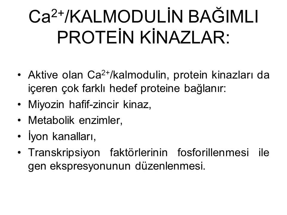 Ca 2+ /KALMODULİN BAĞIMLI PROTEİN KİNAZLAR: Aktive olan Ca 2+ /kalmodulin, protein kinazları da içeren çok farklı hedef proteine bağlanır: Miyozin haf