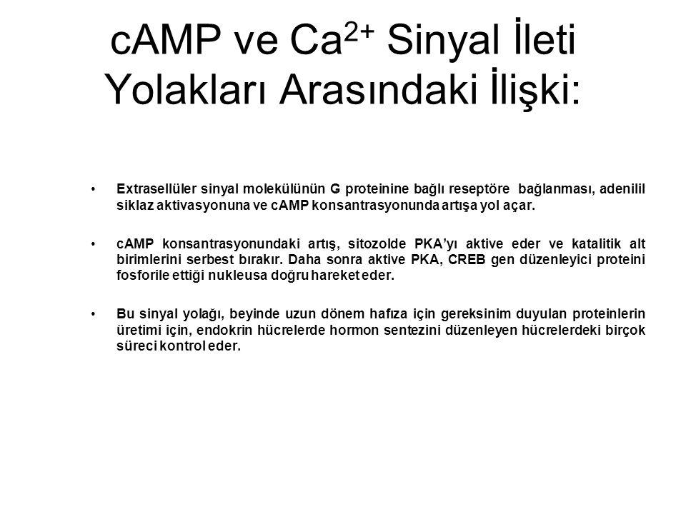 cAMP ve Ca 2+ Sinyal İleti Yolakları Arasındaki İlişki: Extrasellüler sinyal molekülünün G proteinine bağlı reseptöre bağlanması, adenilil siklaz akti