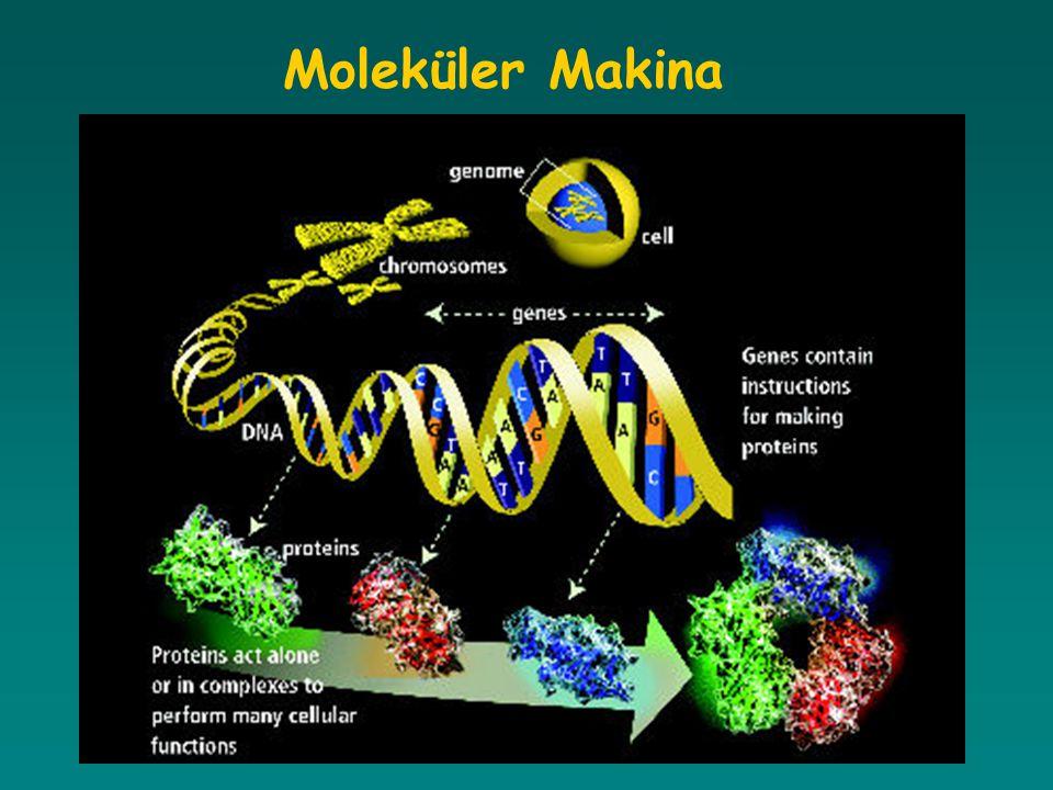 Gen ve Yapısı Her kromozom üzerinde, kalıtımın fiziksel ve fonksiyonel ünitesini oluşturan yüzlerce gen bulunur.