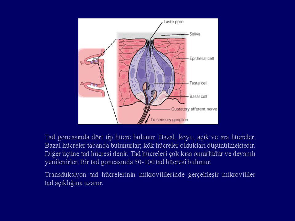 Tad goncasında dört tip hücre bulunur. Bazal, koyu, açık ve ara hücreler. Bazal hücreler tabanda bulunurlar; kök hücreler oldukları düşünülmektedir. D
