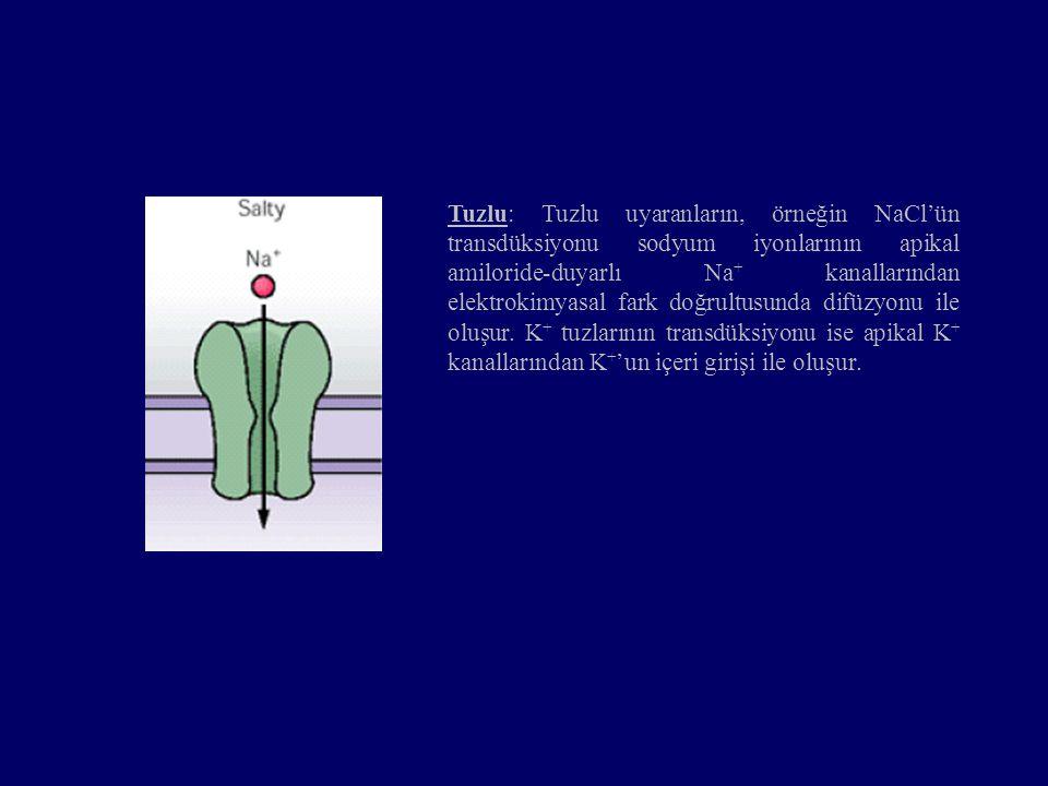 Tuzlu: Tuzlu uyaranların, örneğin NaCl'ün transdüksiyonu sodyum iyonlarının apikal amiloride-duyarlı Na + kanallarından elektrokimyasal fark doğrultus
