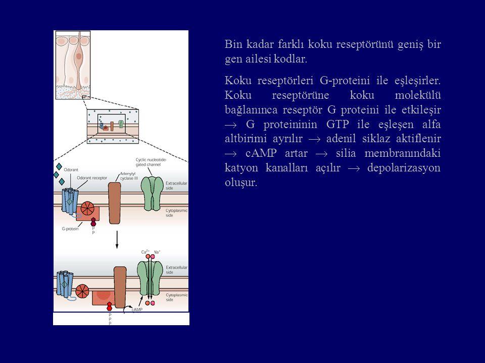 Bin kadar farklı koku reseptörünü geniş bir gen ailesi kodlar. Koku reseptörleri G-proteini ile eşleşirler. Koku reseptörüne koku molekülü bağlanınca