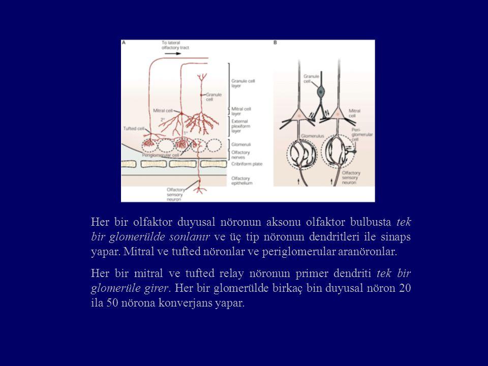 Her bir olfaktor duyusal nöronun aksonu olfaktor bulbusta tek bir glomerülde sonlanır ve üç tip nöronun dendritleri ile sinaps yapar. Mitral ve tufted