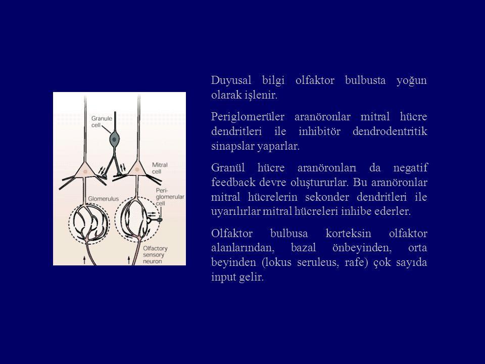 Mitral ve tufted nöronların aksonları lateral olfaktor yolak ile olfaktor kortekse gider.