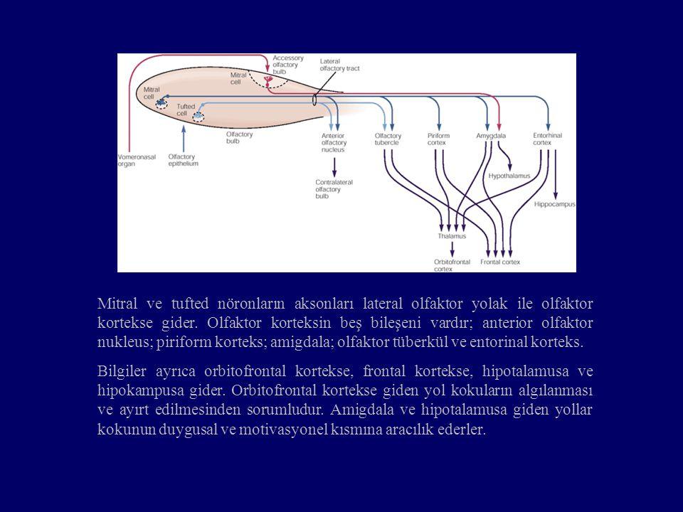 Mitral ve tufted nöronların aksonları lateral olfaktor yolak ile olfaktor kortekse gider. Olfaktor korteksin beş bileşeni vardır; anterior olfaktor nu