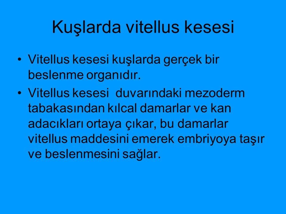Kuşlarda vitellus kesesi Vitellus kesesi kuşlarda gerçek bir beslenme organıdır. Vitellus kesesi duvarındaki mezoderm tabakasından kılcal damarlar ve