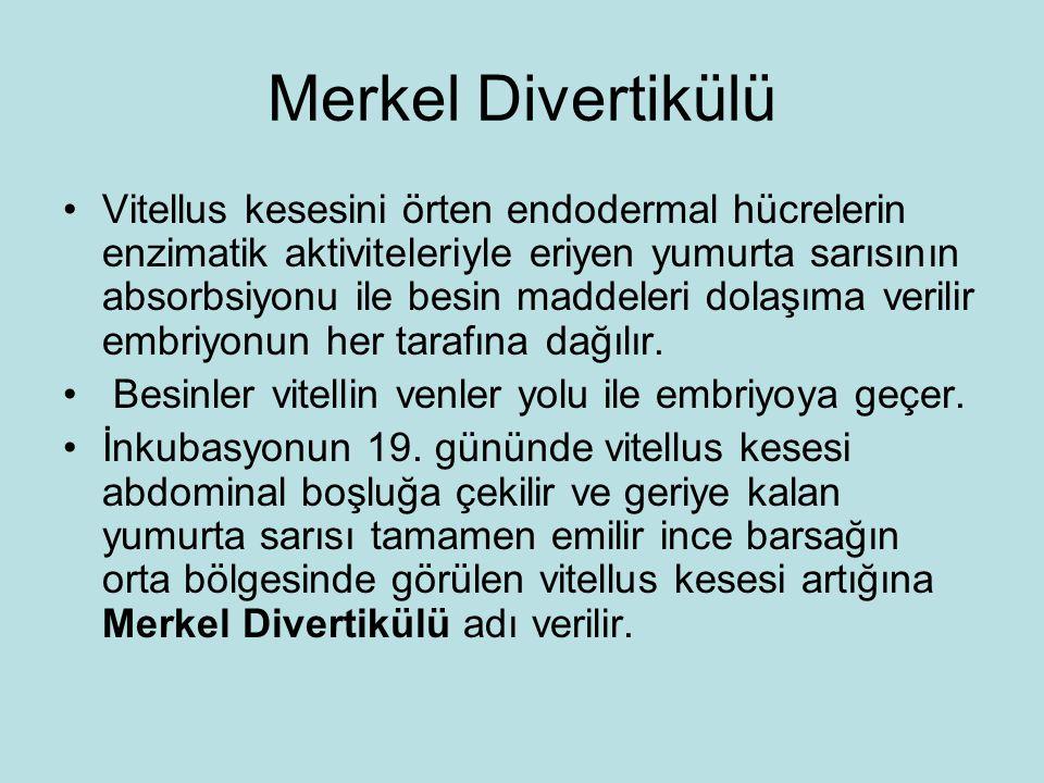 Merkel Divertikülü Vitellus kesesini örten endodermal hücrelerin enzimatik aktiviteleriyle eriyen yumurta sarısının absorbsiyonu ile besin maddeleri d