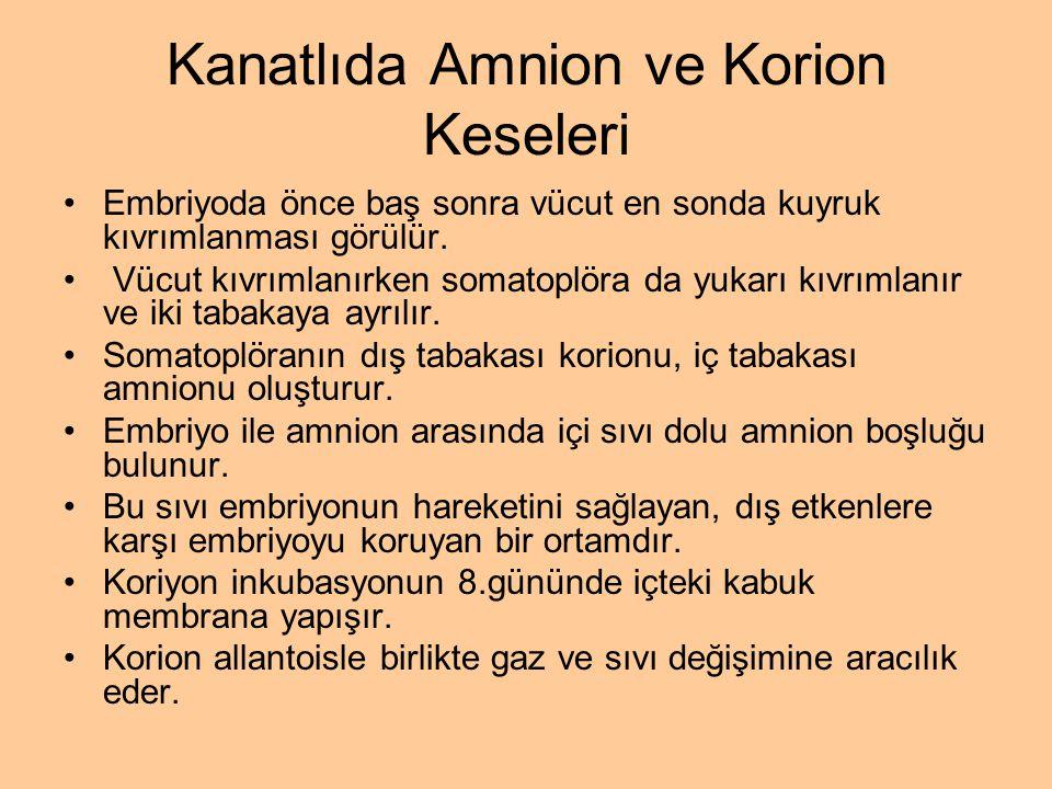 Kanatlıda Amnion ve Korion Keseleri Embriyoda önce baş sonra vücut en sonda kuyruk kıvrımlanması görülür. Vücut kıvrımlanırken somatoplöra da yukarı k