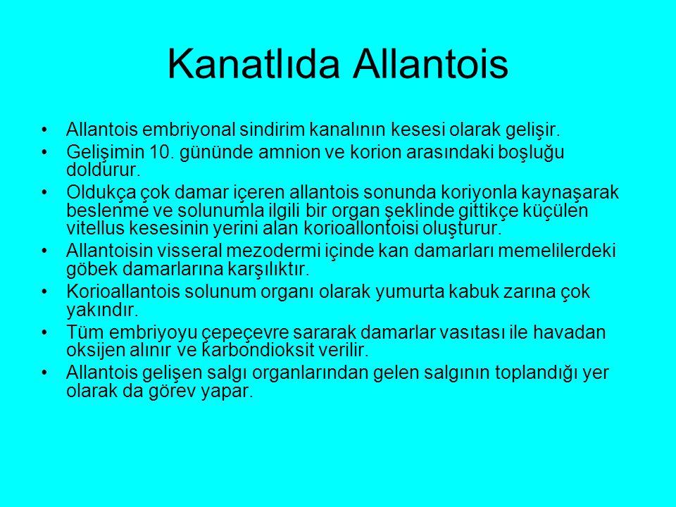 Kanatlıda Allantois Allantois embriyonal sindirim kanalının kesesi olarak gelişir. Gelişimin 10. gününde amnion ve korion arasındaki boşluğu doldurur.