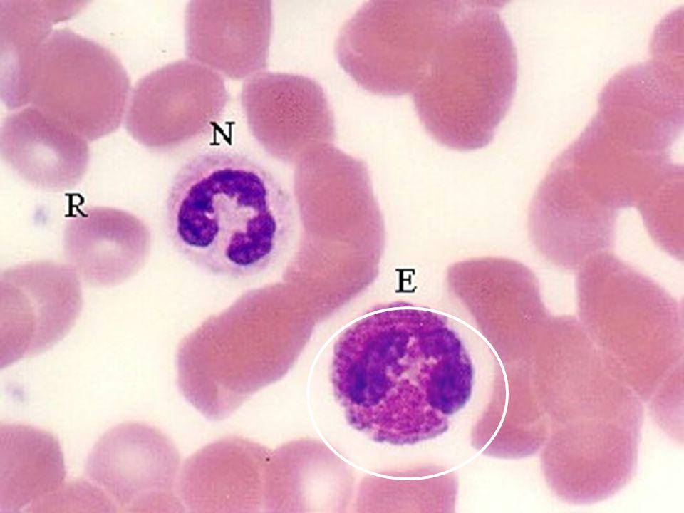 Lenfositler Embriyoda kök hücreden kaynaklanır, farklılaşır, olgun lenfositler oluşur Lenfoid organlara yerleşir T-lenfositi: timusta B lenfositi: fetal yaşamın orta döneminde KC de geç dönem ve doğum sonrası Kemik iliğnde Bursa of Fabricius kuşlarda B-lenfosit işleme yeri