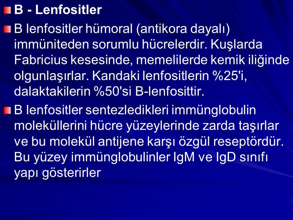 B - Lenfositler B lenfositler hümoral (antikora dayalı) immüniteden sorumlu hücrelerdir. Kuşlarda Fabricius kesesinde, memelilerde kemik iliğinde olgu