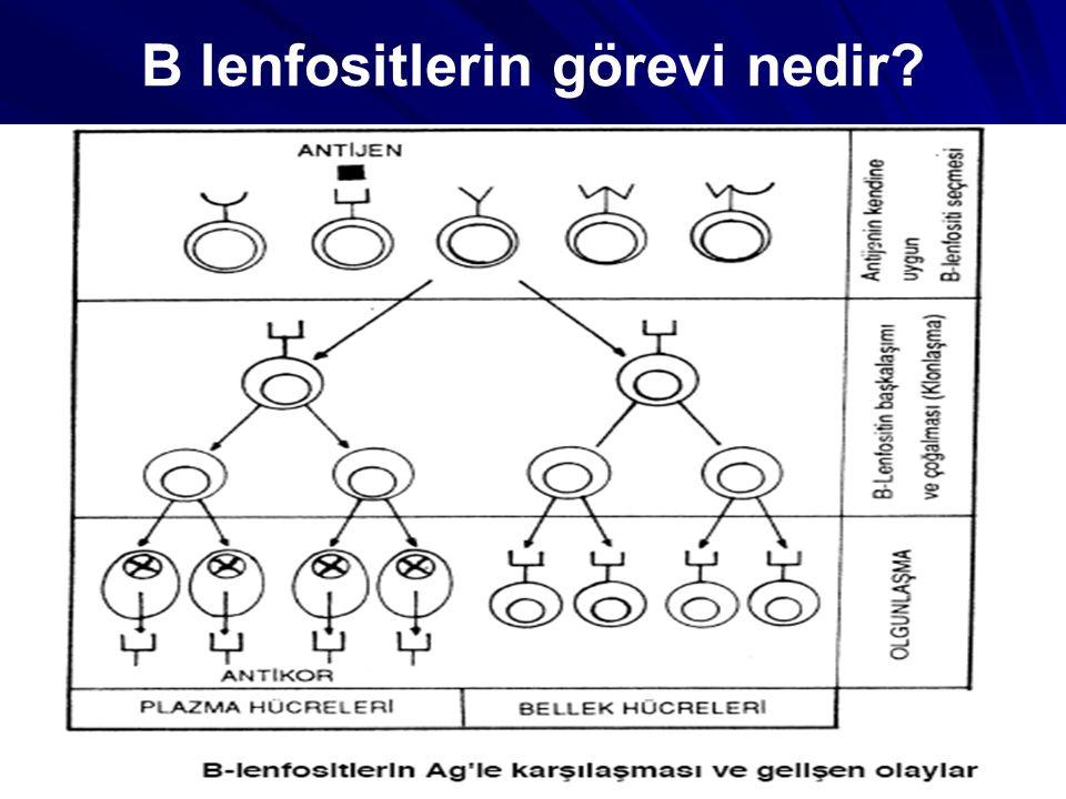 B lenfositlerin görevi nedir?