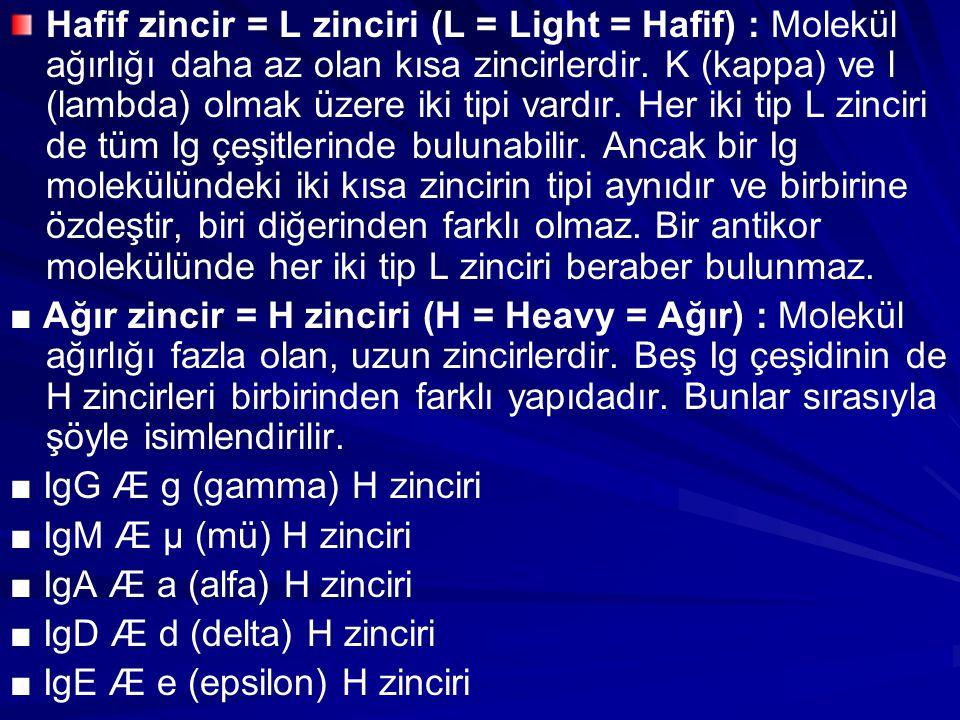 Hafif zincir = L zinciri (L = Light = Hafif) : Molekül ağırlığı daha az olan kısa zincirlerdir. K (kappa) ve l (lambda) olmak üzere iki tipi vardır. H