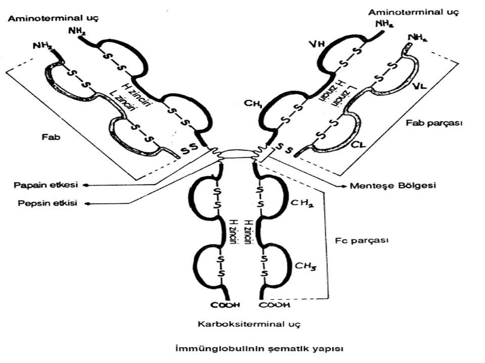 B ve T hücrelerinin antijene yanıtı zayıflar, bozulur.