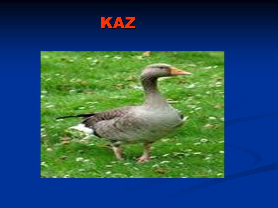 KAZ KAZ