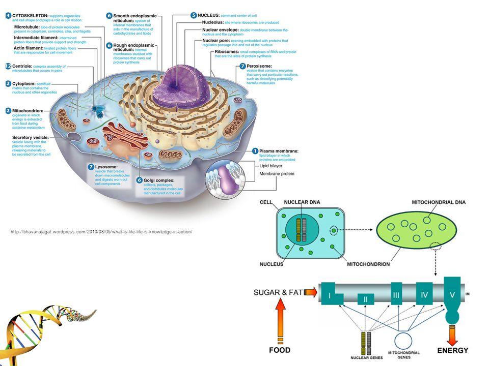 *Mitokondrinin kökeni primitif bir aerobik bakteriye (α-proteabacteria) dayanmaktadır.