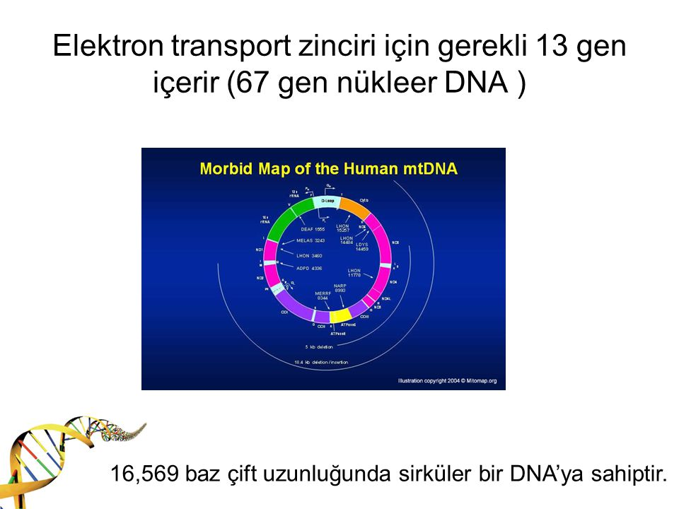 Elektron transport zinciri için gerekli 13 gen içerir (67 gen nükleer DNA ) 16,569 baz çift uzunluğunda sirküler bir DNA'ya sahiptir.